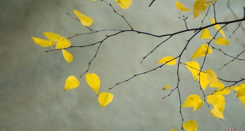 Collection Yellow Autumnal Birch Betula Tree Limbs Against
