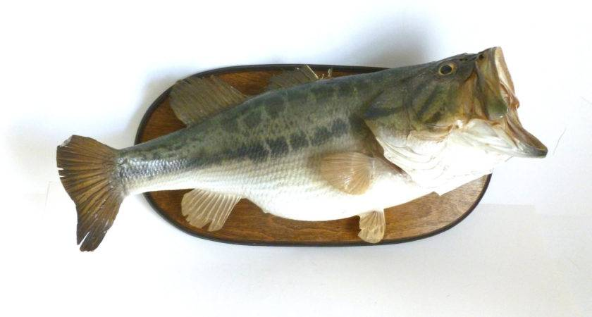 Vintage Mounted Wide Largemouth Bass Fish Taxidermy Wall